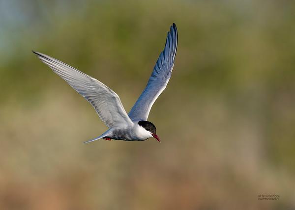 Whiskered Tern, Lake Cargelligo, NSW, Aus, Oct 2018-7