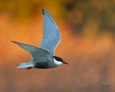 Whiskered Tern, Lake Cargelligo, NSW, Aus, Oct 2018-2