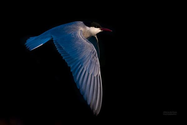 Whiskered Tern, Lake Cargelligo, NSW, Aus, Oct 2018-5