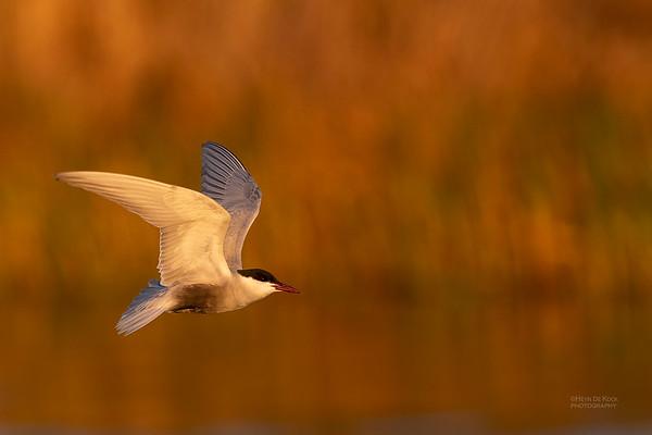 Whiskered Tern, Lake Cargelligo, NSW, Aus, Oct 2018-6