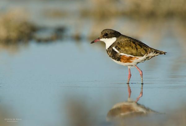 Red-kneed Dotteral, imm, Lake Cargellico STP, NSW, Aus, Oct 2011