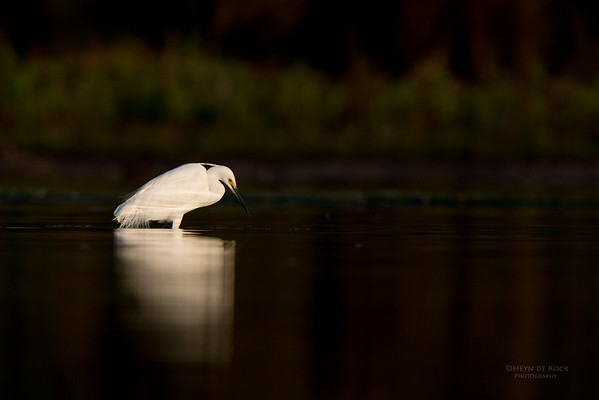 Little Egret, Lake Wollumboola, NSW, Nov 2014-1