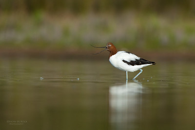 Red-necked Avocet, Lake Wollumboola, NSW, Nov 2014-4