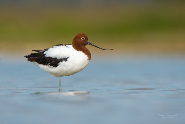 Red-necked Avocet, Lake Wollumboola, NSW, Nov 2014-3