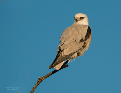 Black-Shouldered Kite, Culbarra, NSW, Aus, Aug 2014-2