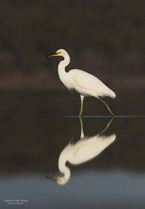 Little Egret, Lake Wolumboola, NSW, Aus, Nov 2013-1