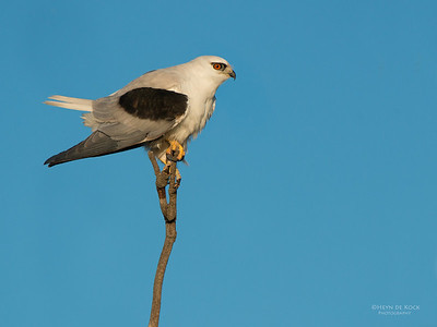 Black-Shouldered Kite, Culbarra, NSW, Aus, Aug 2014-1
