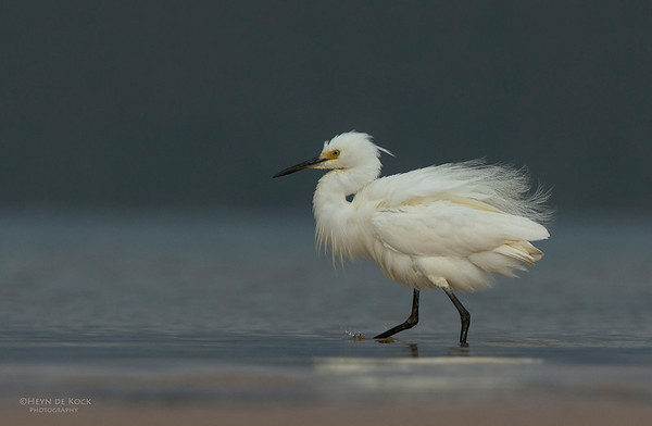 Little Egret, Lake Woolumbulla, NSW, Aus, Jan 2013