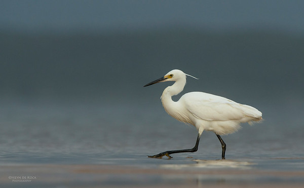 Little Egret, Lake Woolumbulla, NSW, Aus, Jan 2013-1