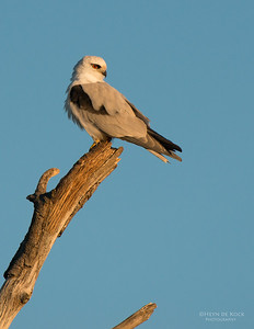 Black-Shouldered Kite, Culbarra, NSW, Aus, Aug 2014-4