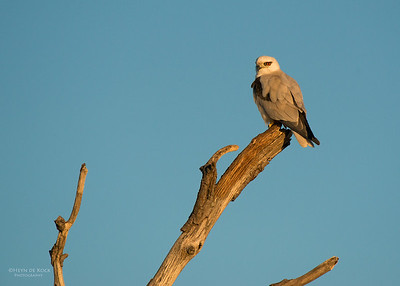 Black-Shouldered Kite, Culbarra, NSW, Aus, Aug 2014-3