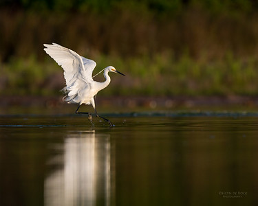 Little Egret, Lake Wollumboola, NSW, Nov 2014-2