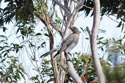 Grey Currawong Barren Grounds, NSW December 24, 2011 IMG_8977
