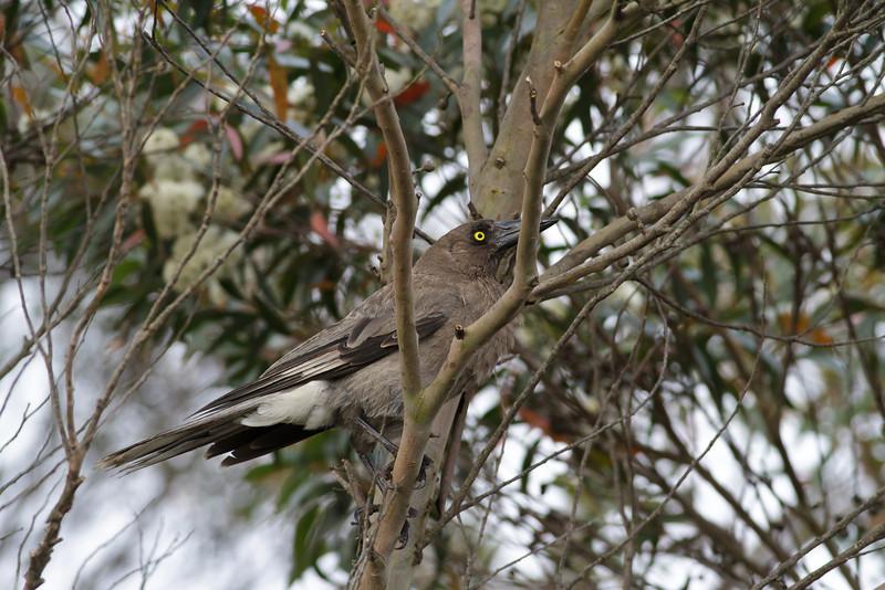 Grey Currawong Barren Grounds, NSW December 24, 2011 IMG_9091