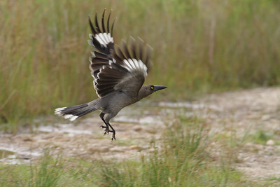 Grey Currawong Barren Grounds, NSW December 24, 2011 IMG_9079
