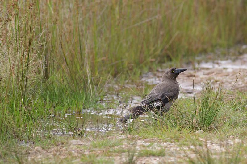 Grey Currawong Barren Grounds, NSW December 24, 2011 IMG_9077