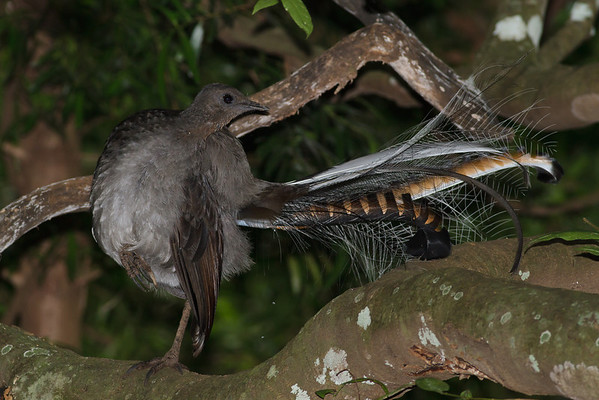 Superb Lyrebird Barren Grounds, NSW  December 24, 2011  IMG_8832