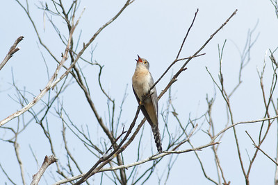 Fan-tailed Cuckoo  Barren Grounds, NSW  December 24, 2011  IMG_8966