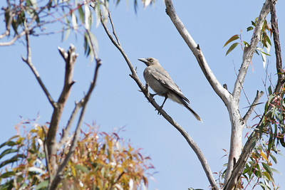 Grey Currawong Barren Grounds, NSW December 24, 2011 IMG_8918