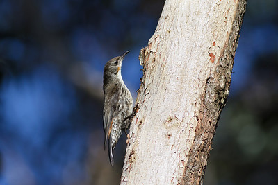 White-throated Tree-creeper Barren Grounds, NSW  December 24, 2011  IMG_9019