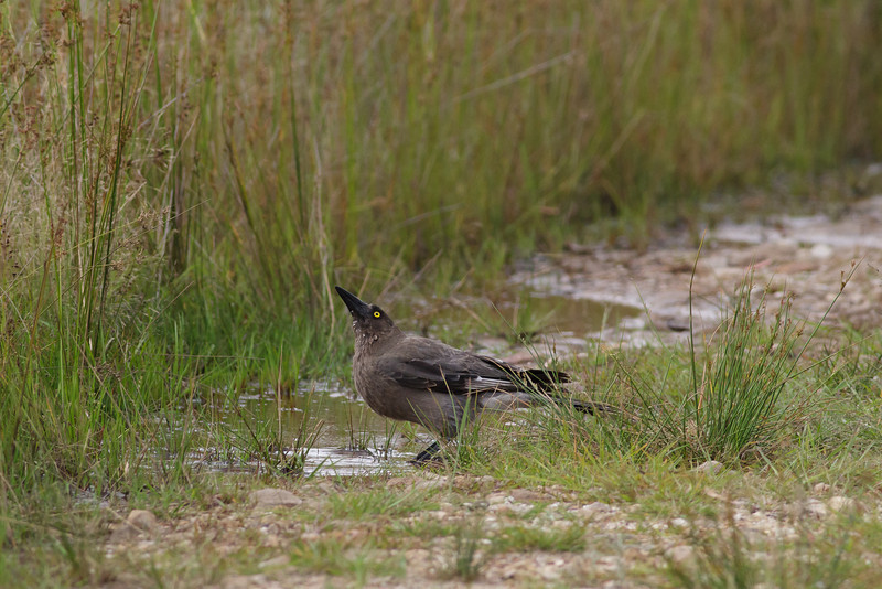 Grey Currawong Barren Grounds, NSW December 24, 2011 IMG_9063