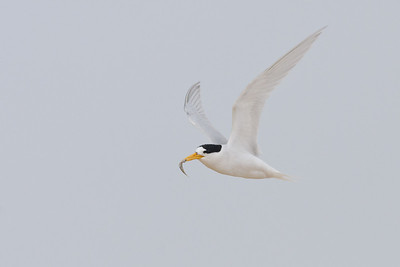 Fairy Tern Lake Conjola, NSW January 09, 2011 IMG_3003