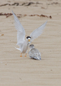 Fairy Tern feeding chick Lake Conjola, NSW January 09, 2011 IMG_2733