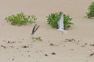 Little Tern and Red-capped Plover (tern chick under bush) Lake Conjola, NSW January 09, 2011 IMG_2778