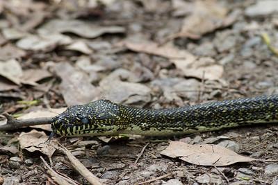 Diamond Python Royal NP, NSW February, 2012 IMG_5921