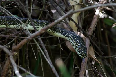 Diamond Python Royal NP, NSW February, 2012 IMG_5951