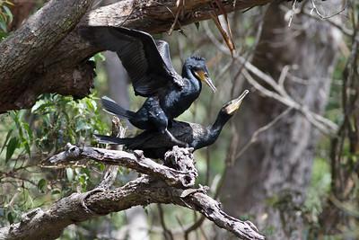 Great Cormorant (display) Royal NP, NSW February, 2012 IMG_5844