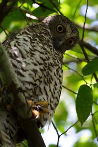 Powerful Owl Royal NP, NSW February, 2012 IMG_5636