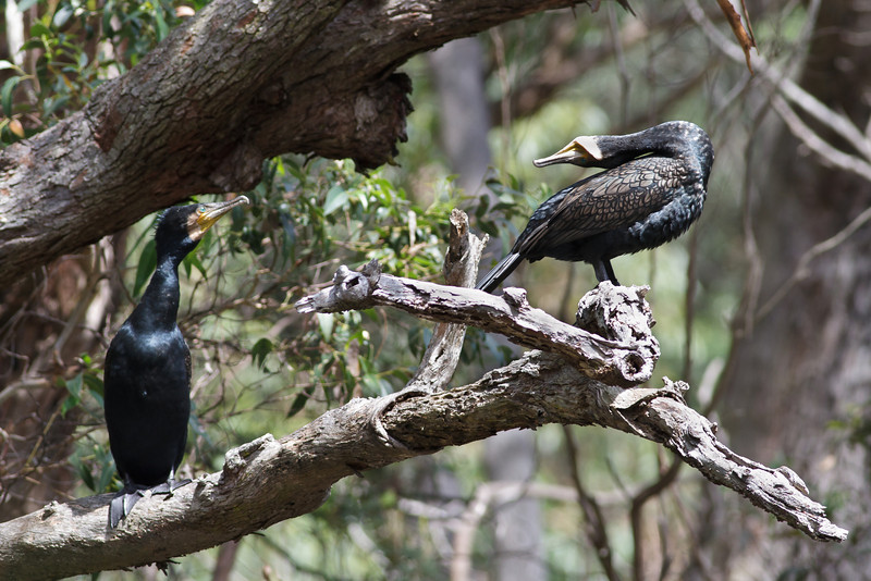 Great Cormorant (display) Royal NP, NSW February, 2012 IMG_5821