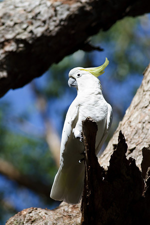 Sulphur-crested Cockatoo Royal NP, NSW February, 2012 IMG_5629