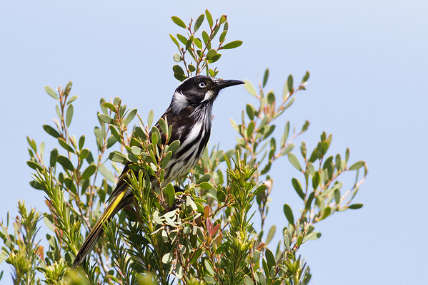 New Holland Honeyeater Royal NP, NSW February, 2012 IMG_6001