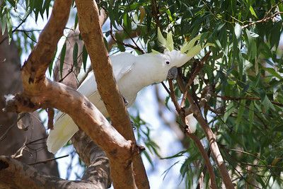 Sulphur-crested Cockatoo Royal NP, NSW February, 2012 IMG_5780