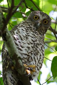 Powerful Owl Royal NP, NSW February, 2012 IMG_5638