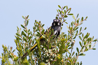 New Holland Honeyeater Royal NP, NSW February, 2012 IMG_5998