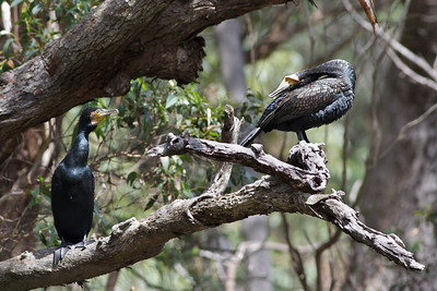 Great Cormorant (display) Royal NP, NSW February, 2012 IMG_5820