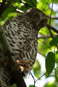Powerful Owl Royal NP, NSW February, 2012 IMG_5635