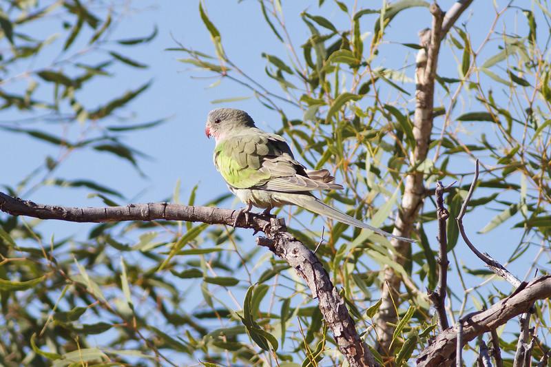 Princess Parrot June 17, 2012 Newhaven Sanctuary, NT IMG_0615