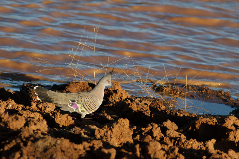 Crested Pigeon June 16, 2012 Kunoth Well, NT IMG_0466