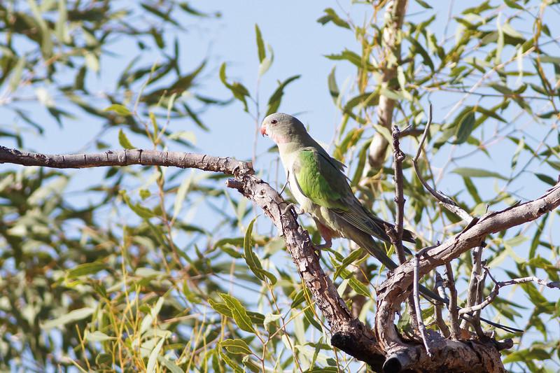 Princess Parrot June 17, 2012 Newhaven Sanctuary, NT IMG_0609