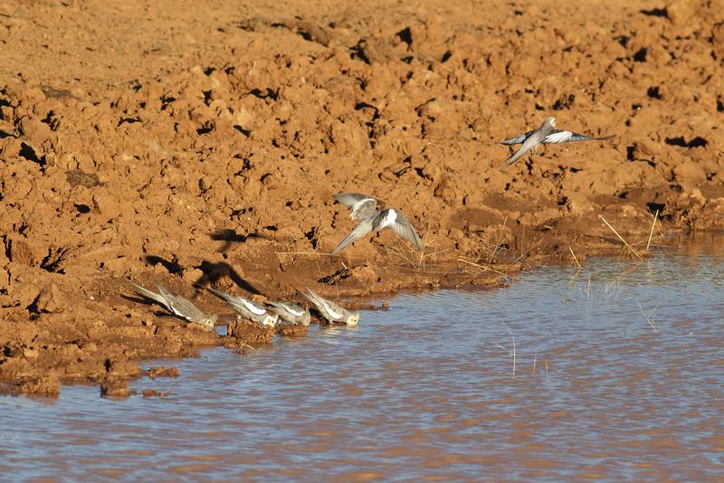 Cockatiel June 16, 2012 Kunoth Well, NT IMG_0439