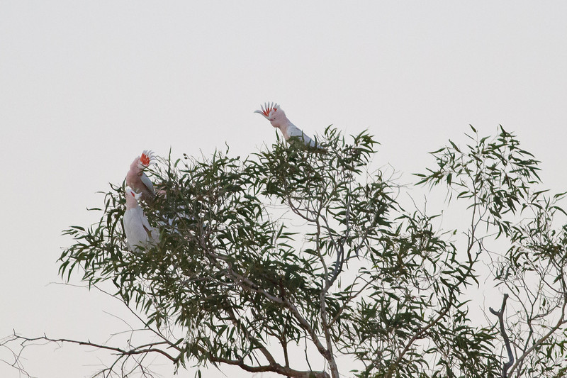 Major Mitchell's Cockatoo June 17, 2012 Newhaven Sanctuary, NT IMG_0540
