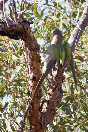 Princess Parrot June 17, 2012 Newhaven Sanctuary, NT IMG_0603
