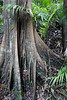 Many of the rain forest trees have these buttressed root systems