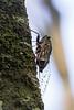 Cicada at Barron Falls.