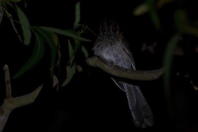 Australian Owlet-nightjar Dayboro, QLD September 14, 2013 IMG_1164