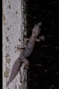 Robust Velvet Gecko Dayboro, QLD September 14, 2013 IMG_1156